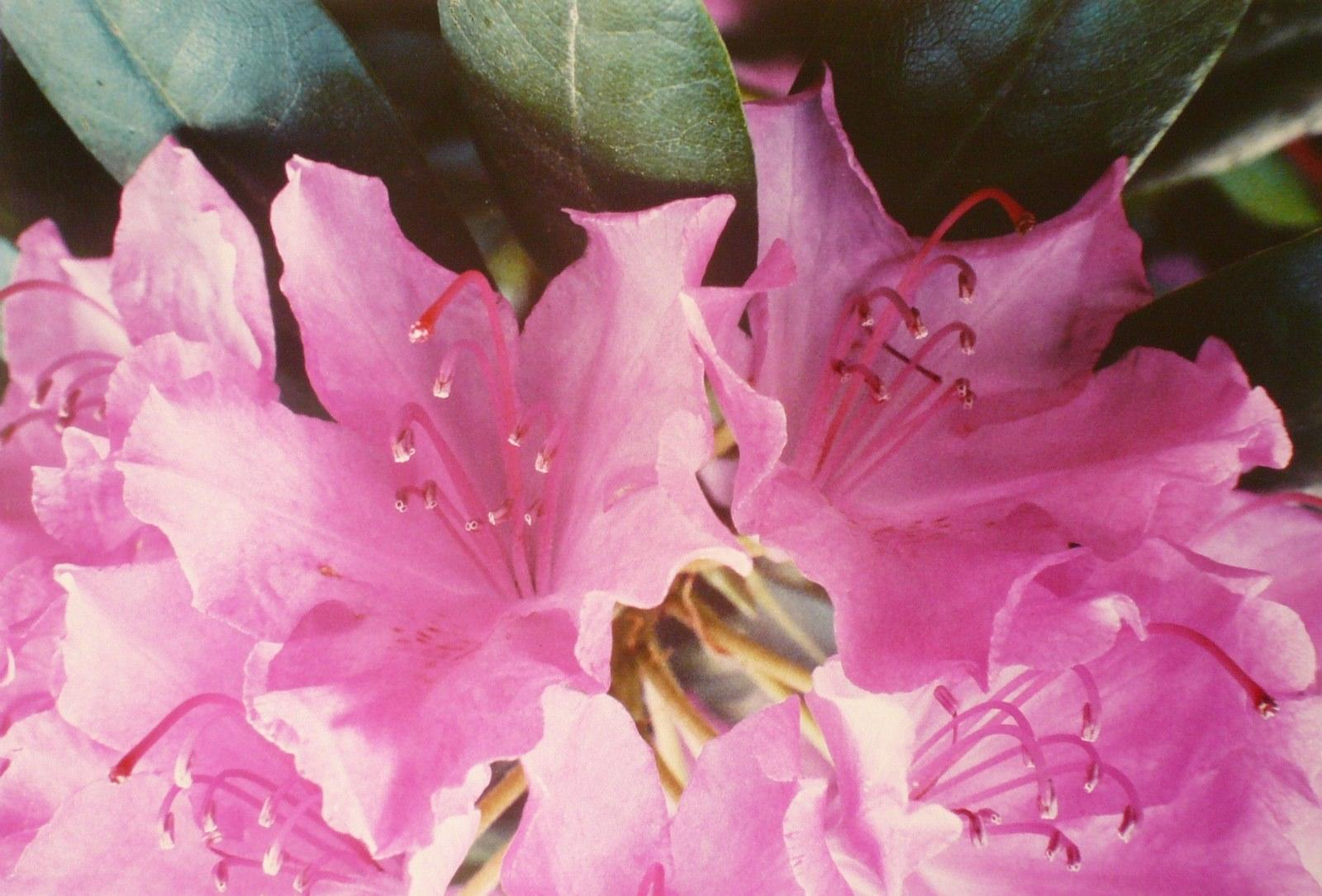 Le rhododendron_0