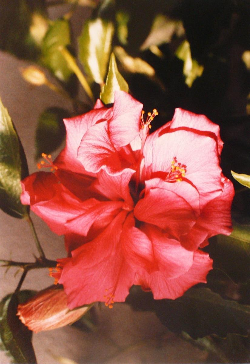 L'Hibiscus_0