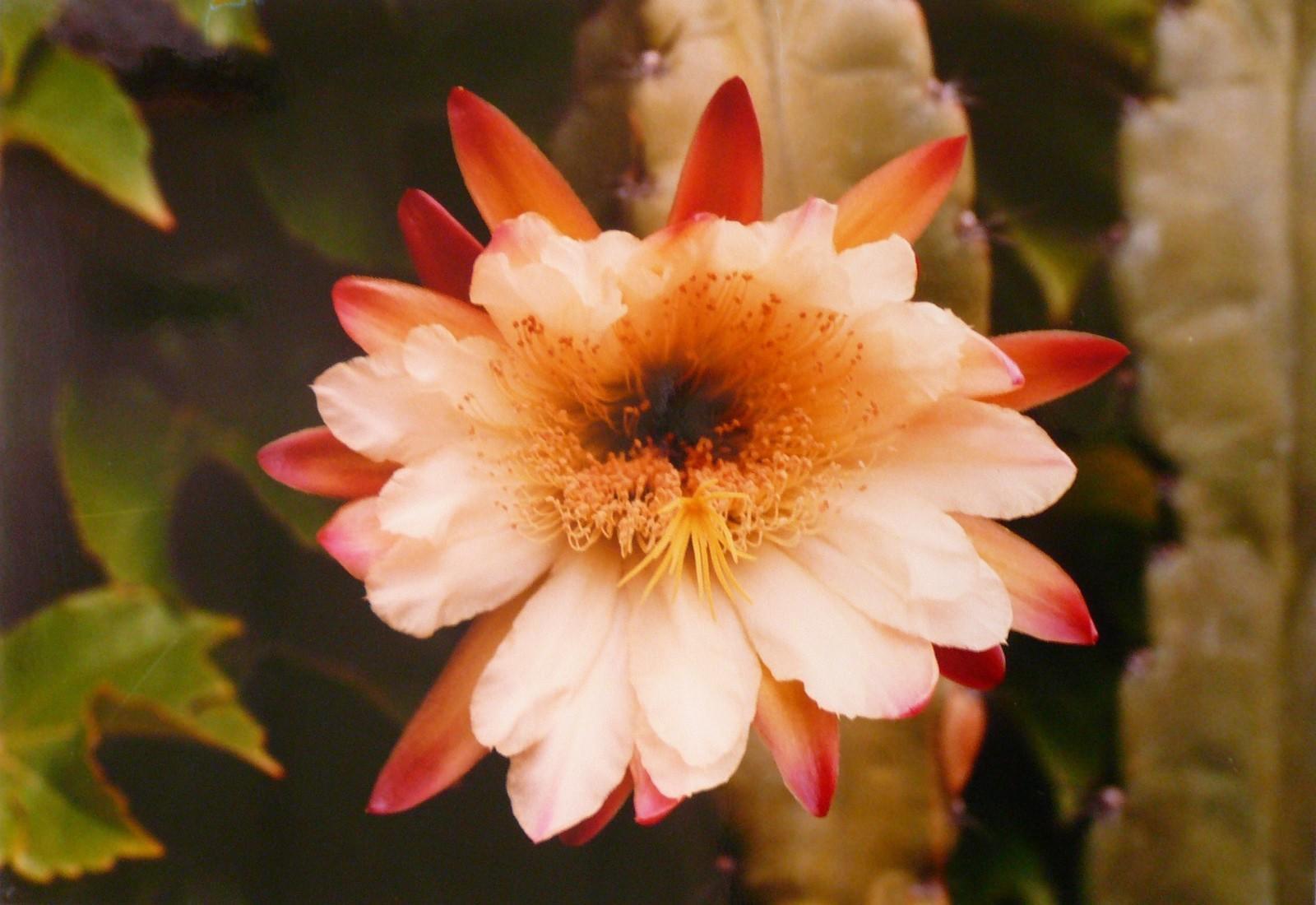 La fleur de cactus_0