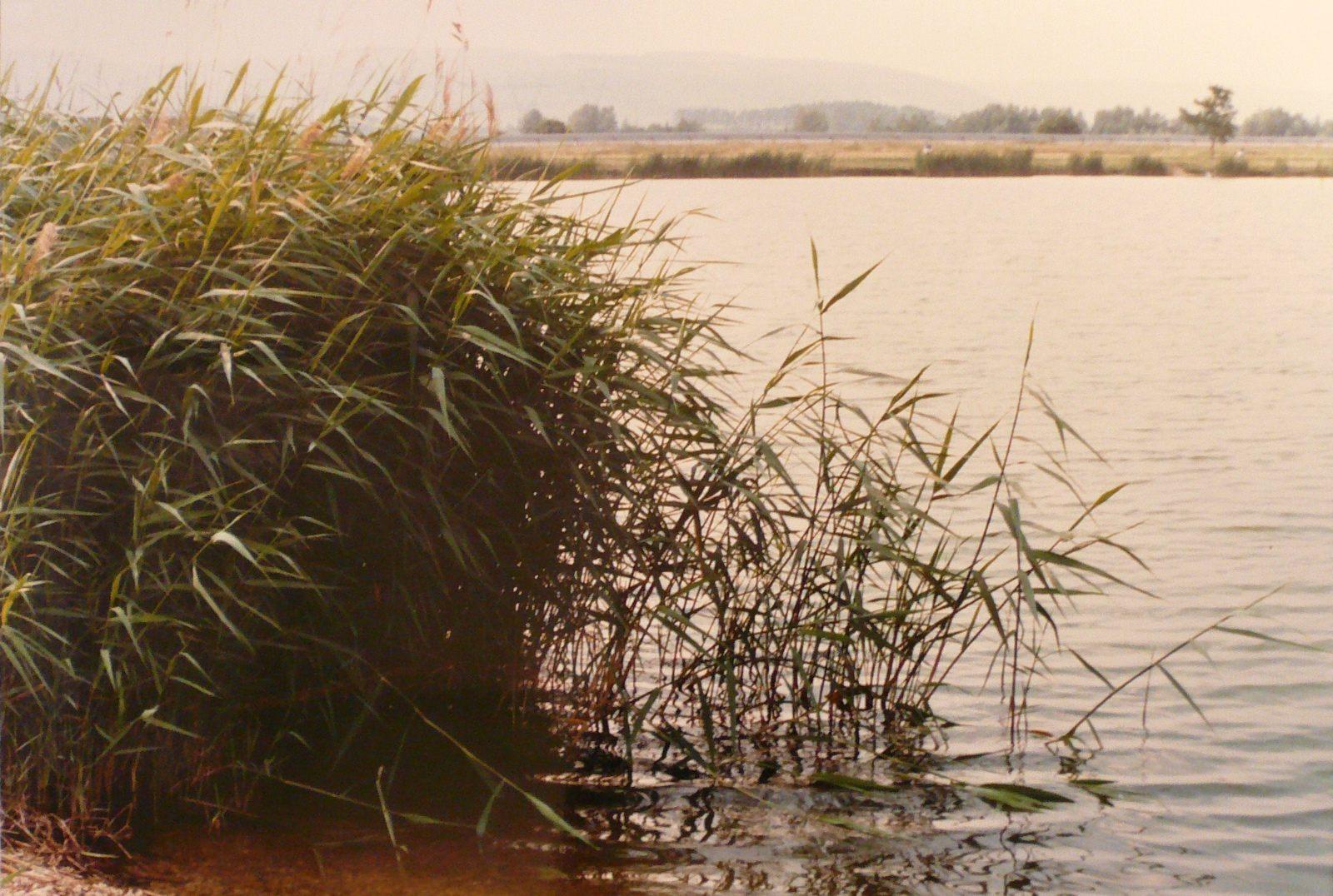 Roseaux au bord de l'étang_0