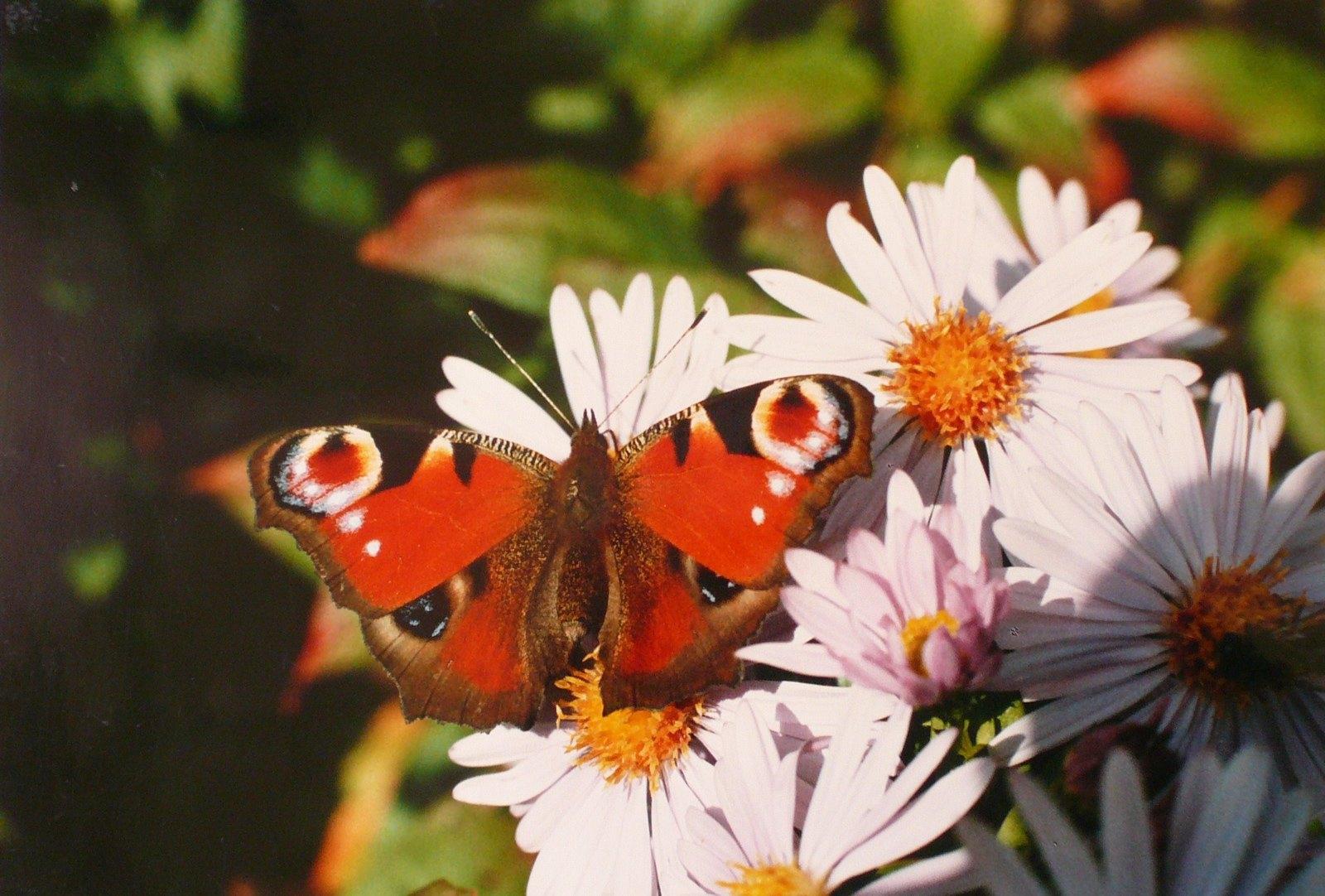Papillon sur les chrysanthèmes_0
