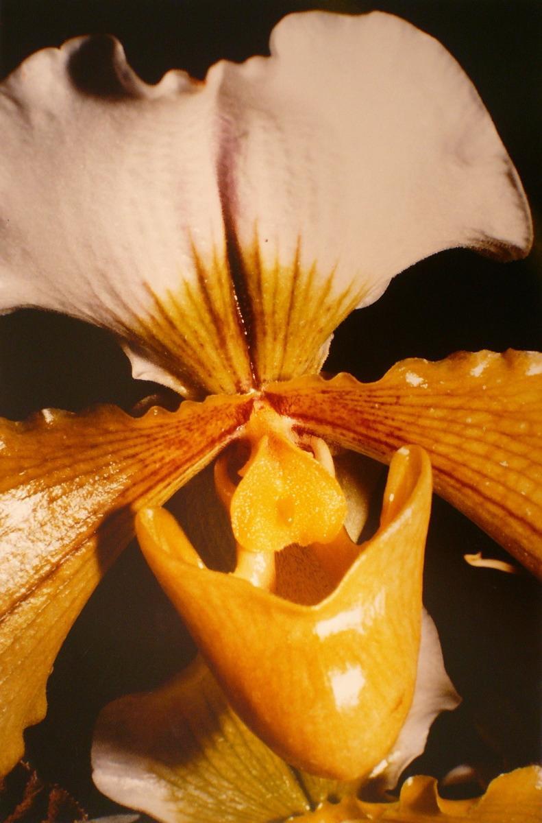 Orchidées, Paphiopedilum_0
