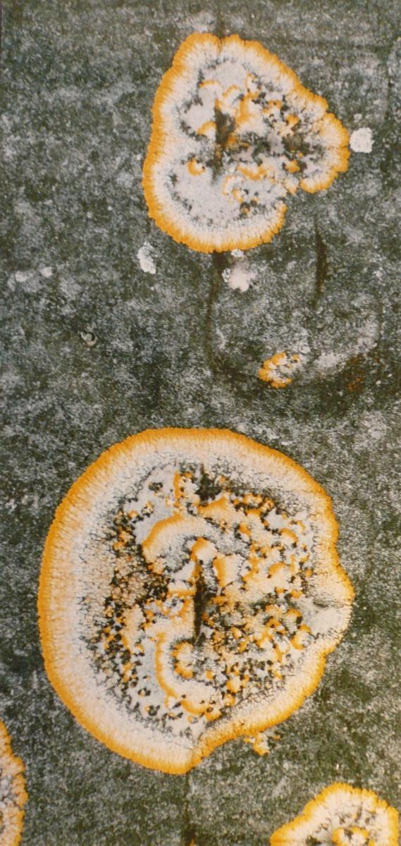 Lichens jaune et gris_0