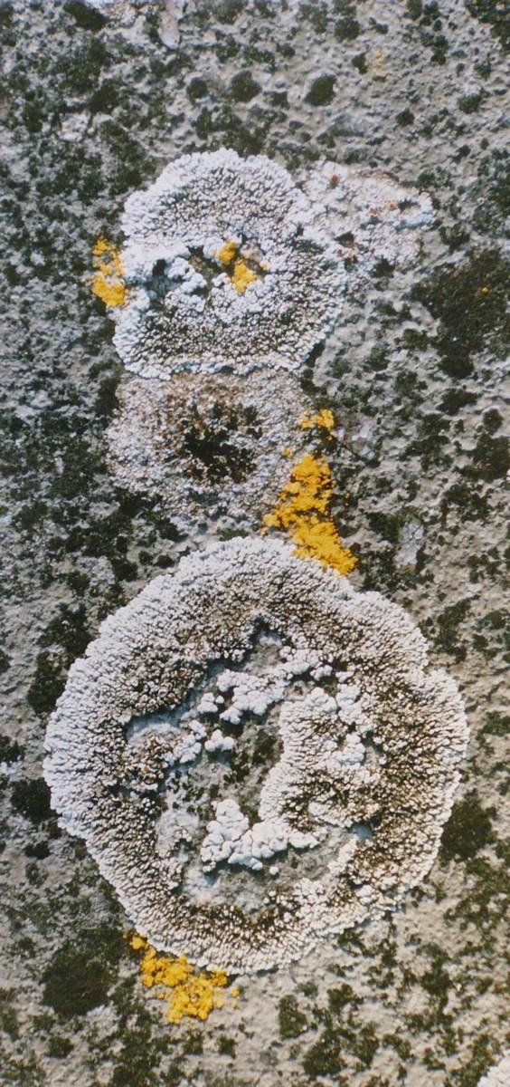 Lichens gris et trois jaunes_0