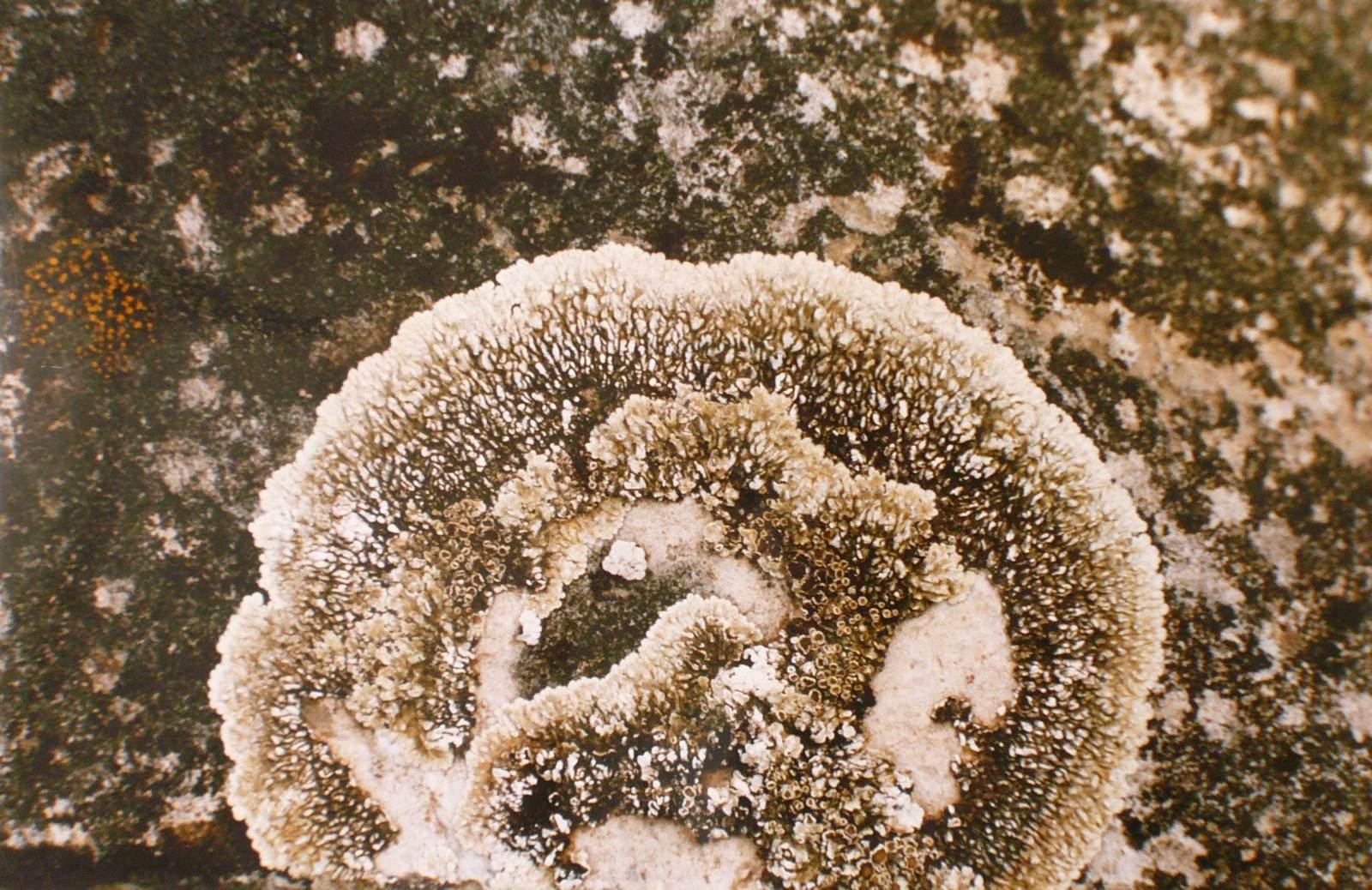 Lichens gris clair et gris foncé_0