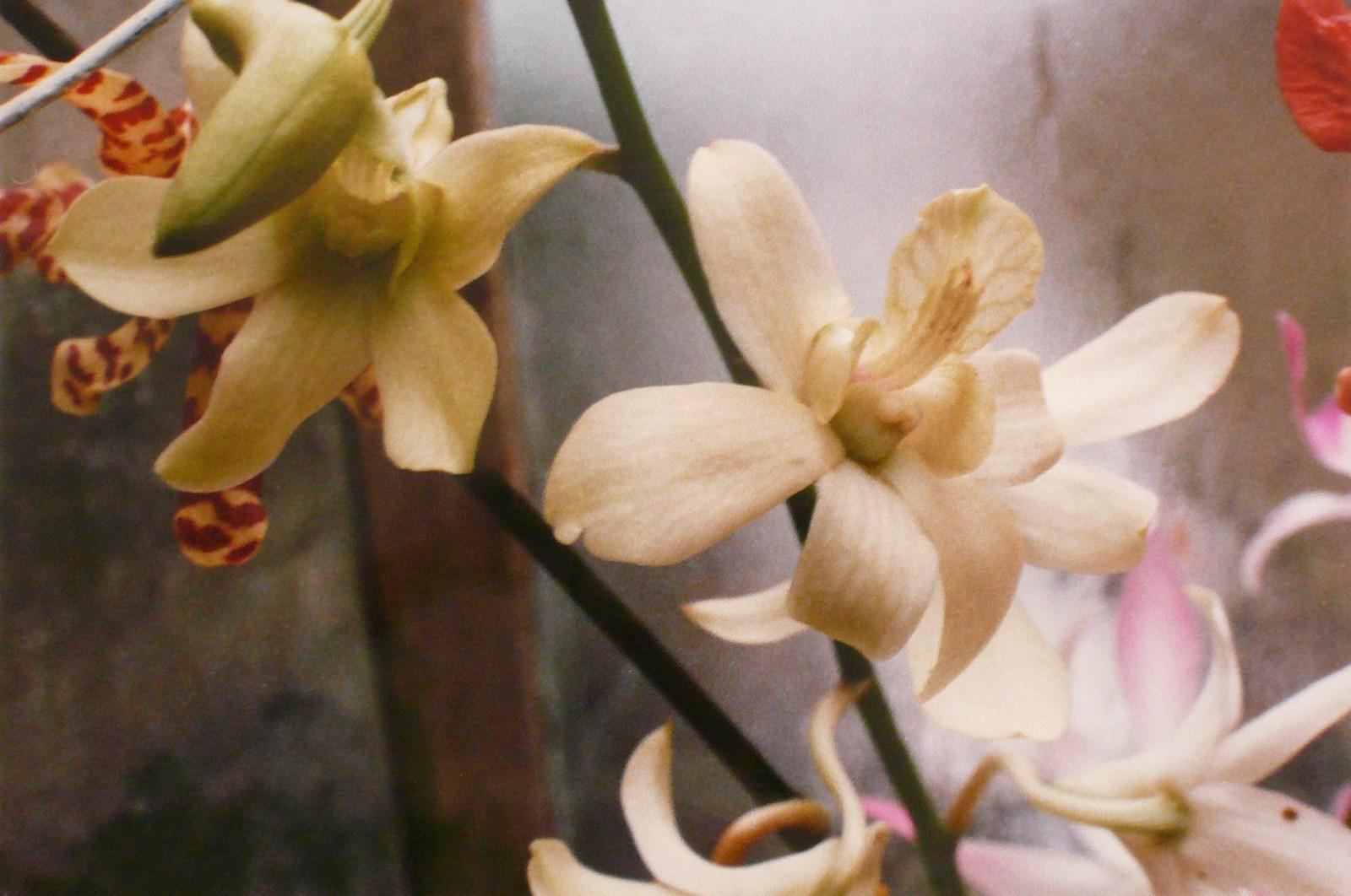 Orchidées blanches_0