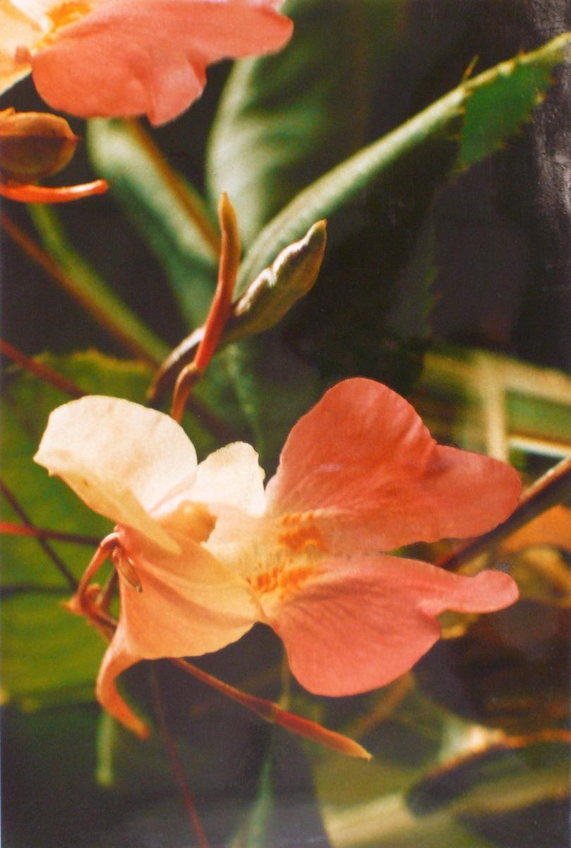 Orchidées orange_0
