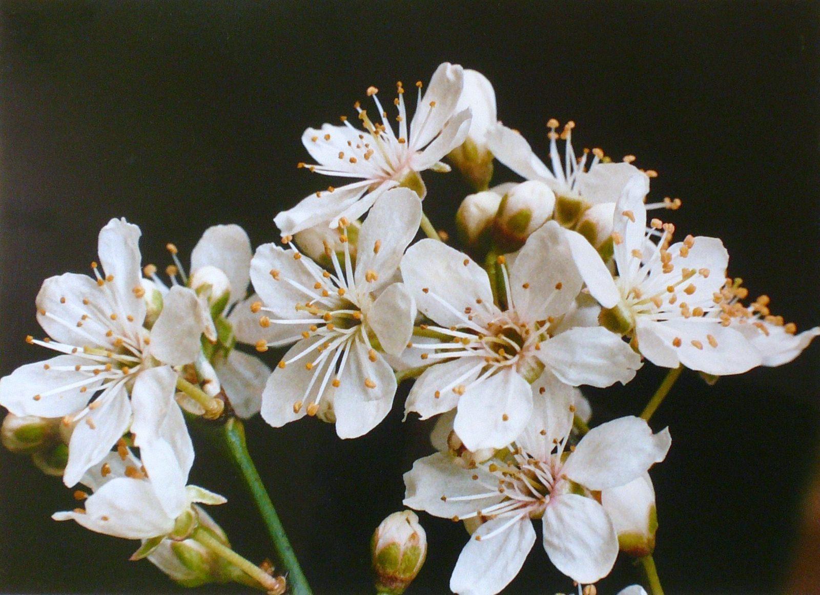 Prunus_0