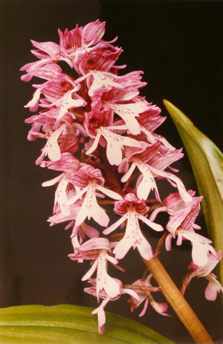 Orchis militaire_0