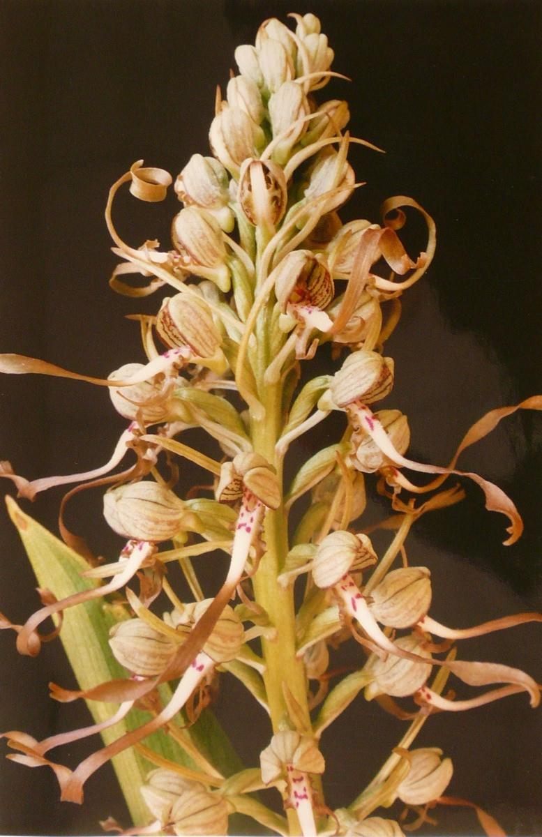 Orchis bouc_0