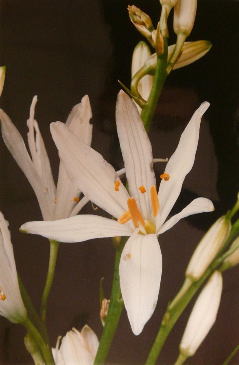 Phalangère à fleurs de lis_0