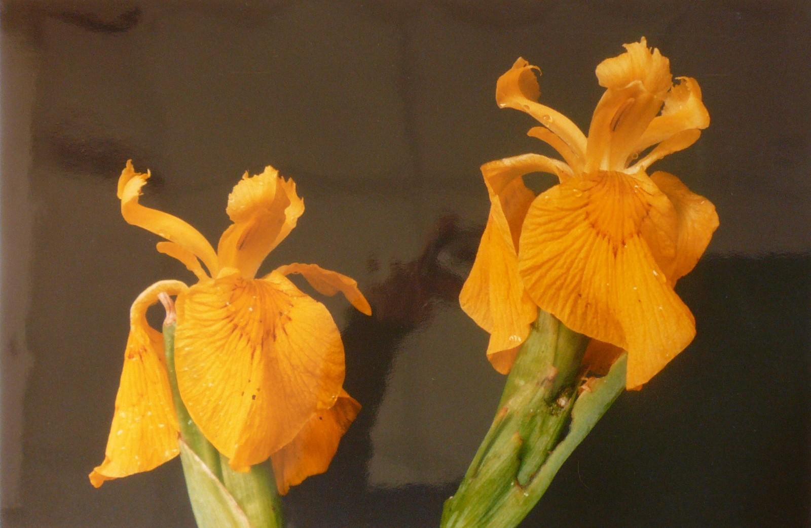 Iris d'eau_0