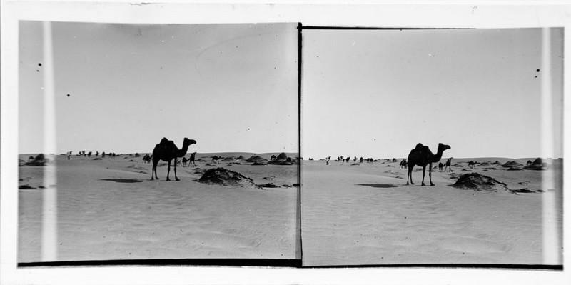 Dromadaire dans le désert_0
