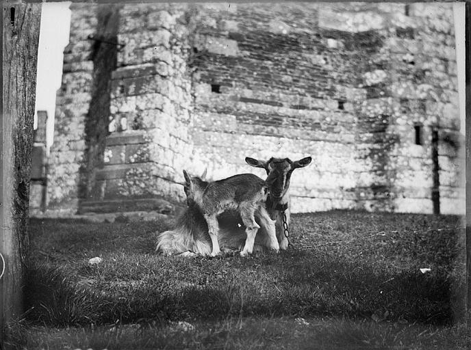 Une chèvre et son chevreau au pied d'un mur de pierres