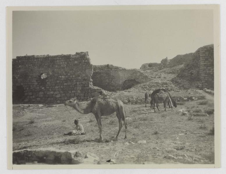 Dromadaires devant la chapelle du château