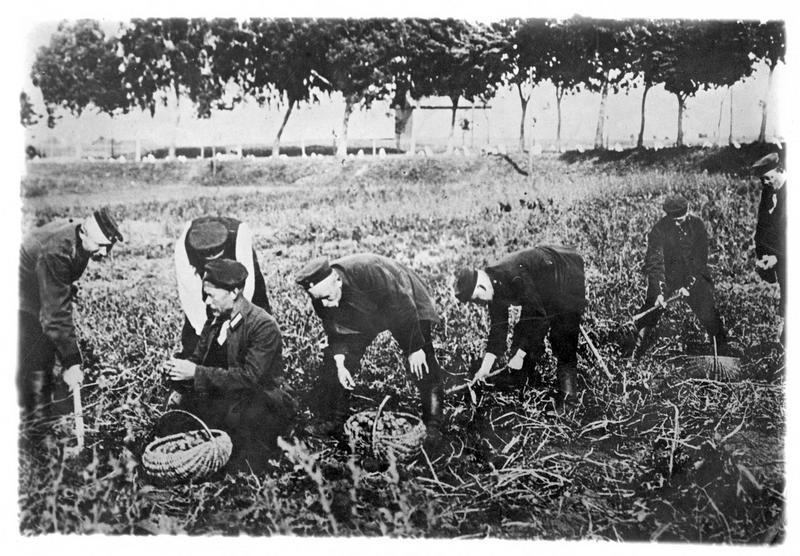 Guerre européenne. Prisonniers allemands occupés à arracher les pommes de terre