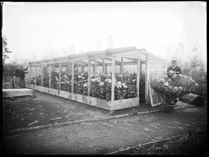 Serre aux chrysanthèmes, jardinier