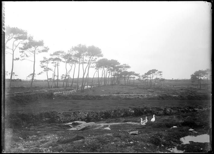 Lande bretonne, oies