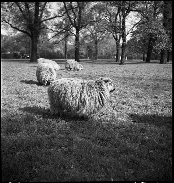 Vue sur le parc : des moutons