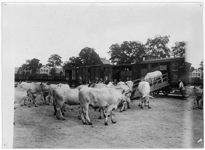 Gare de ravitaillement : déchargement du bétail