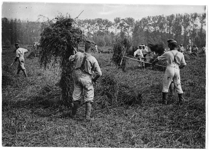 La fenaison par les prisonniers allemands
