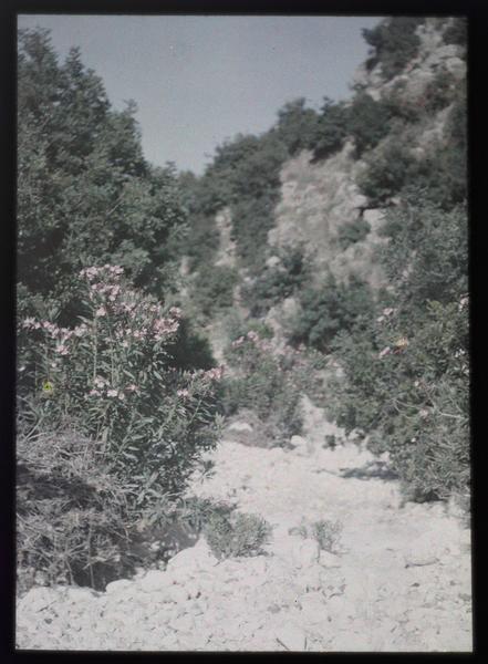 Paysage du Proche-Orient: lauriers roses dans un lit de rivière asséché
