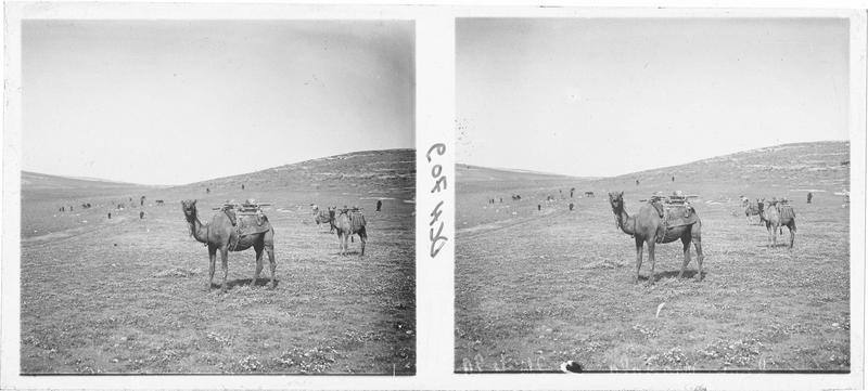 Dromadaires et troupeaux dans la campagne