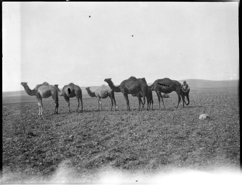 Six dromadaires et un autochtone dans une plaine