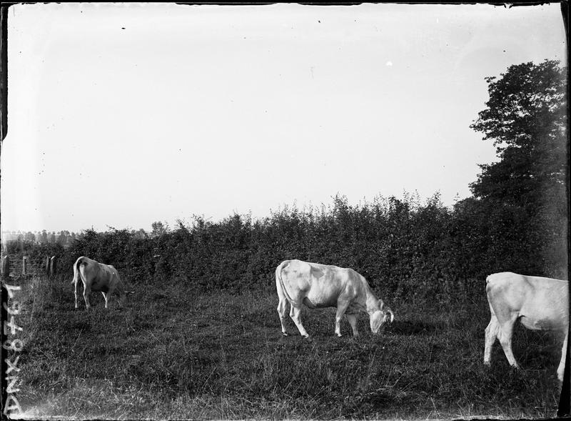 Vaches broutant à proximité du prieuré de Saint-Jean-des-Bonshommes