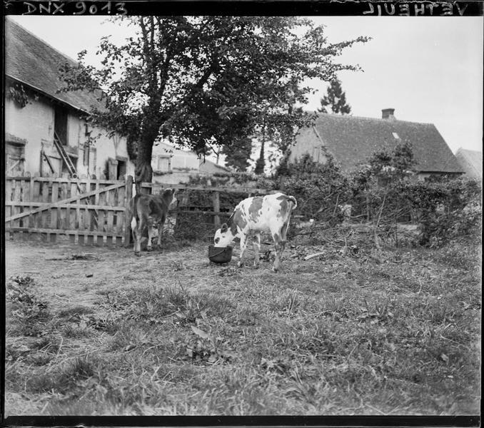 Paysage rural : deux veaux au pâturage devant une ferme