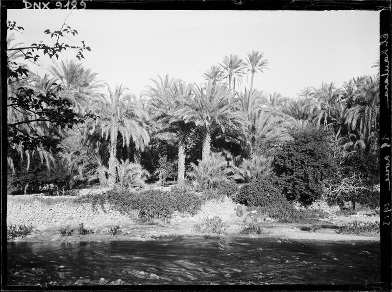 Palmiers au bord de l'oued