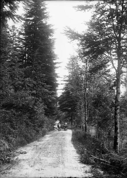 Char à boeufs sur un chemin forestier