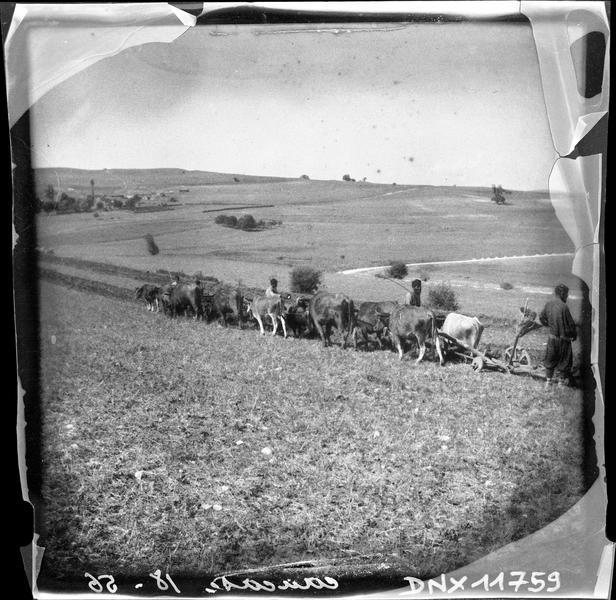 Scène de labourage : attelage de boeufs tirant une charrue
