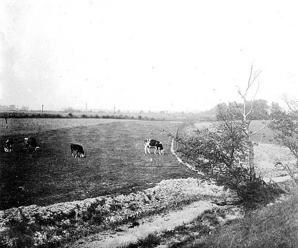 Vaches dans un pré, vues de loin