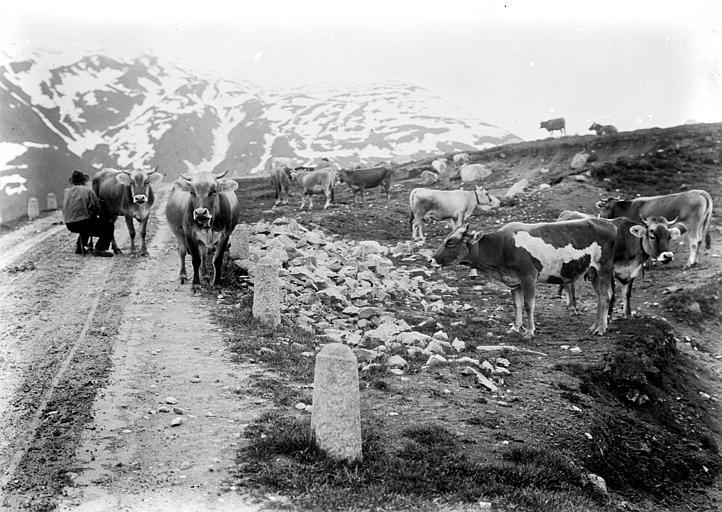 Scène de montagne : traite des vaches dans les alpages