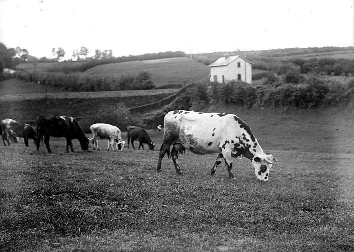 Scène de campagne : troupeau de vaches broutant dans un prè
