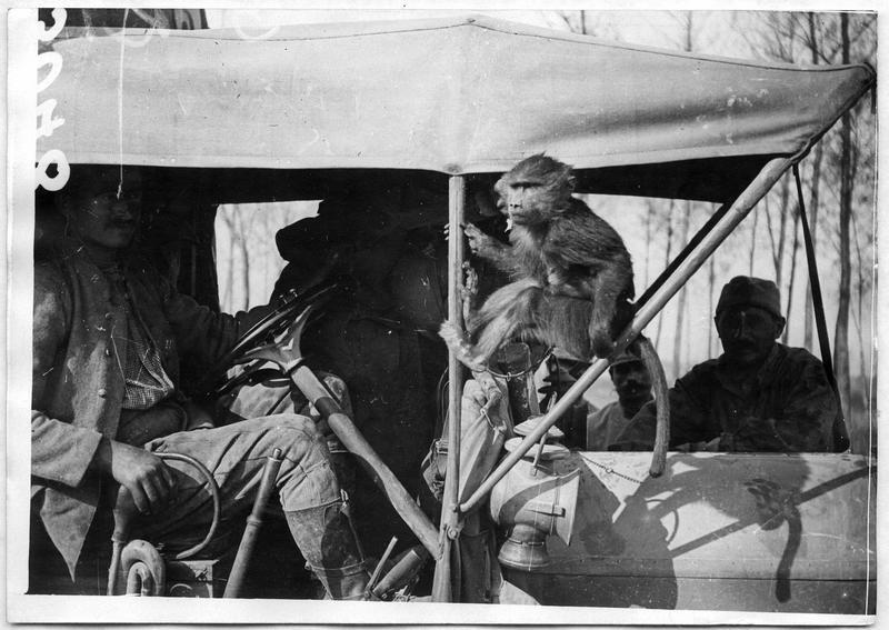 Les animaux à la guerre. Un singe, fidèle compagnon d'un chauffeur, à son poste à l'avant du camion