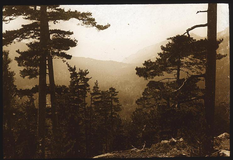 La forêt d'Aïtone après le col de Vergio