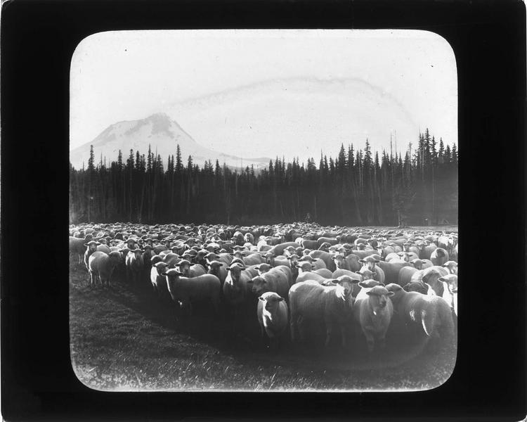 Troupeau de moutons Cotswold dans la forêt nationale du Mont Hood