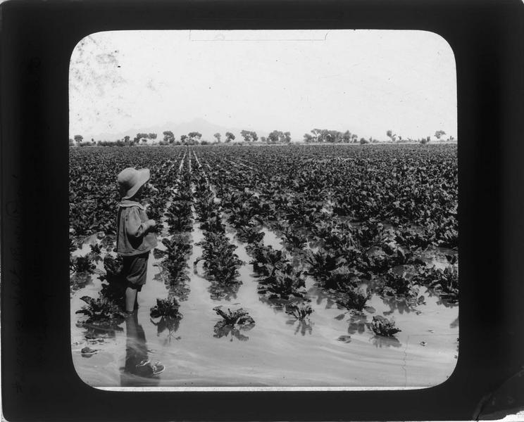 Enfant dans un champ de betteraves à sucre inondé dans la vallée de la Rivière Salée