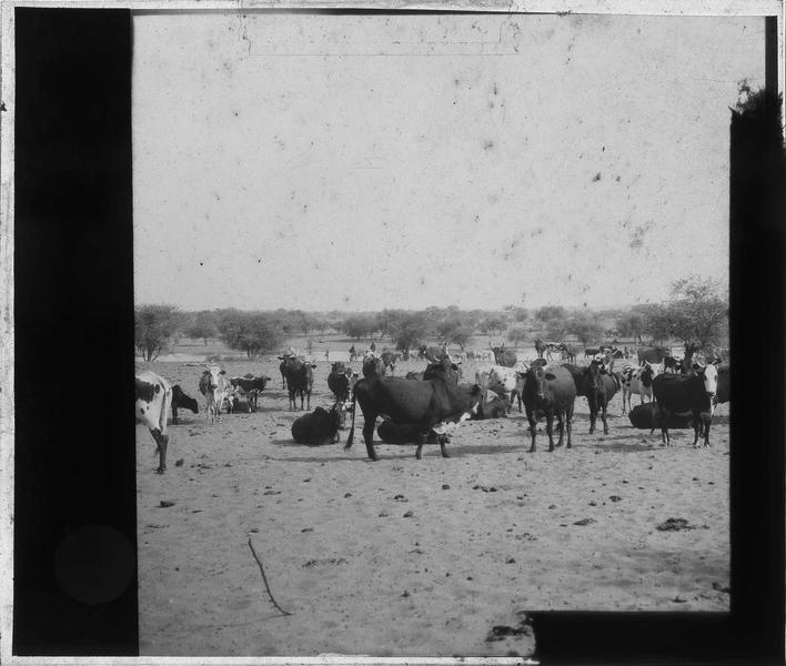 Troupeau de vaches aux abords d'un plan d'eau