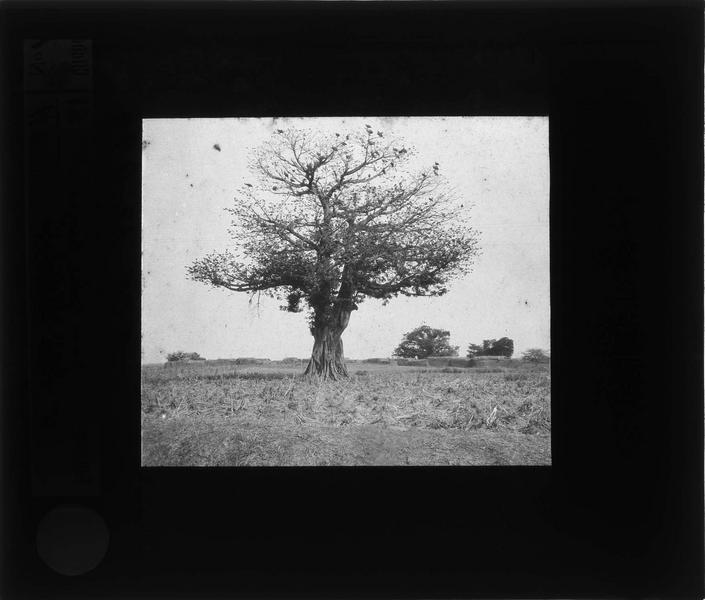 Baobab (entre San et Suquiri)