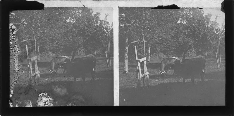 Deux vaches dans un verger