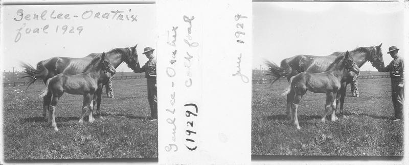 Genl Lee et Oratrix (1929), cheval de course et poulain vus de profil et homme dans un pré