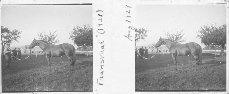 Transvaal (1921), cheval de course d'origine française à la robe baie vu de profil et hommes dans un pré. Pedigree : Tracery (1909) et Wilfreda (1913)