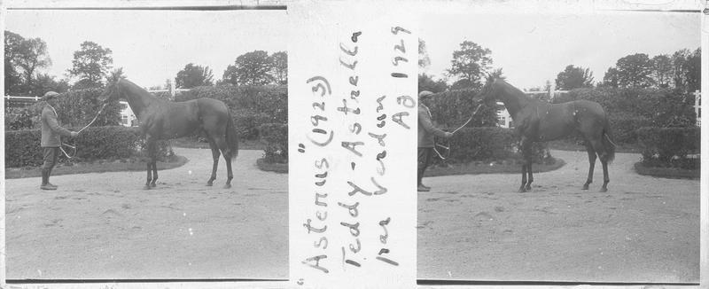 Astenus (1923), cheval de course d'origine française à la robe baie vu de profil et homme dans une cour. Pedigree : Teddy (1913) et Astrella (1912)