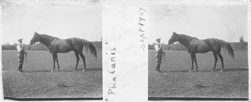 Phalaris (1913), cheval de course d'origine anglaise à robe baie vu de profil et homme dans un pré. Pedigree : Polymelus (1902) et Bromus (1905)