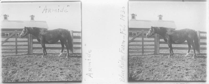 Armide, cheval de course vu de profil dans un enclos