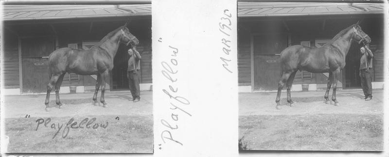 Playfellow (1918), cheval de course d'origine américaine à robe baie vu de profil et homme devant une écurie. Pedigree : Fair Play (1905) et Mahubah (1910)