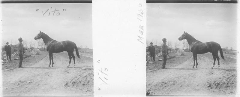 Vito (1925), cheval de course d'origine américaine à robe baie vu de profil et hommes sur un chemin. Pedigree : Negofol (1906) et Forever (1917)